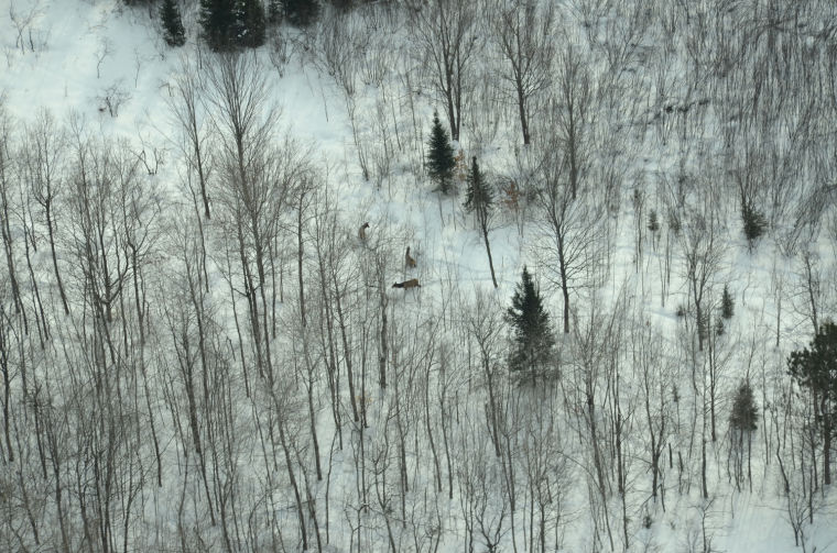 A small elk herd as seen from a DNR spotter plane during my flight with biologists counting the animals in 2014. Photo courtesy Gaylord Herald Times' archives