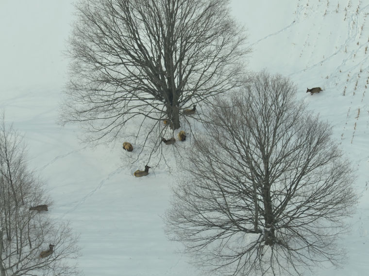 Elk bedded under a tree at the edge of a field in the winter of 2014. Photo courtesy Gaylord Herald Times' archives