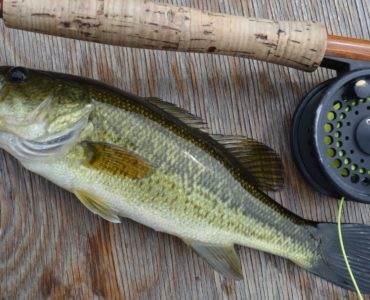 A gorgeous young largemouth caught on a fly