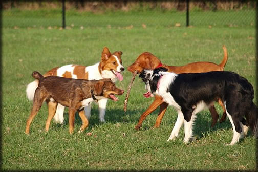 Dogs playing at the Community Dog Park